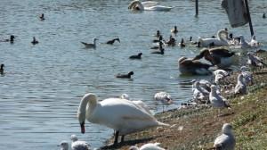 Mute Swan 4