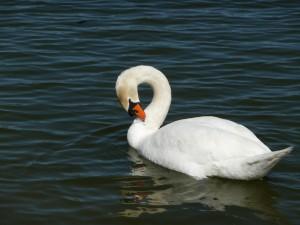 Mute Swan2